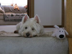 A white Westie lays at the top of the stairs with a toy dog.
