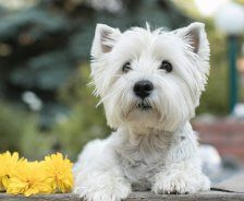 A white western terrier lays next to yellow flowers.
