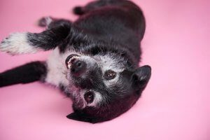 A black and white dog lays on a pink background.
