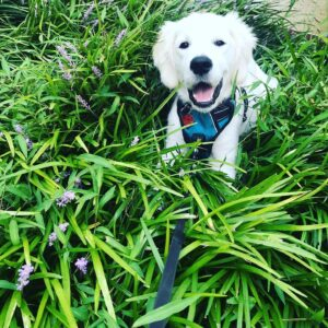 White puppy wearing a harness and laying in the grass