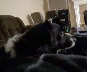 A small black and white dog is looking away from the camera while laying on a blanket