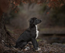 A border collie puppy sits in a pile of leaves