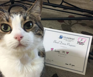 A brown and white cat sits with a blood donor certificate in the background