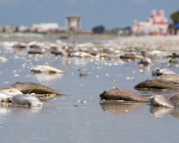 Dead fish on shoreline due to red tide