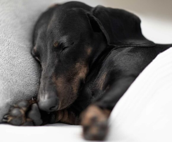 A black and brown dachshunds snuggles against a pillow