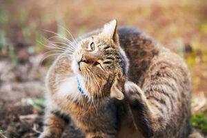 A cat scratching its ear
