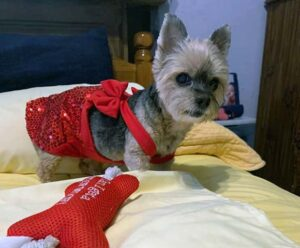 A Yorkie wears a red costume.